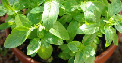 Des conseils pour cultiver son basilic bio en pot