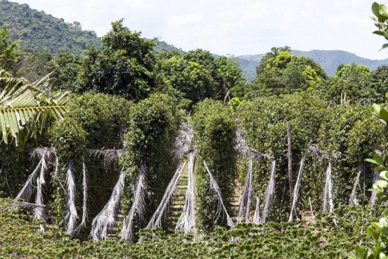 poivre Kampot